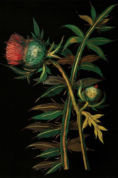 040. Живопись: Cotton headed thistle Carduus eriophorus. Художник Mary Granville Delany
