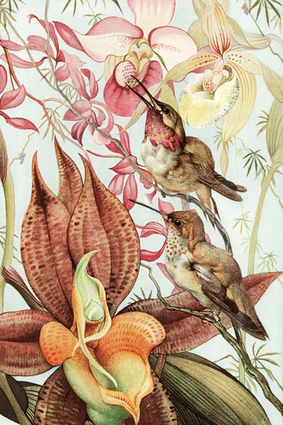 041. Живопись: Catasetum and Cypripedium. Художник Edward Julius Detmold (1883 – 1957)