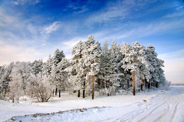 082. Пейзаж: Хвойный лес зимой