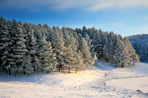 083. Пейзаж: Сосновый лес на закате