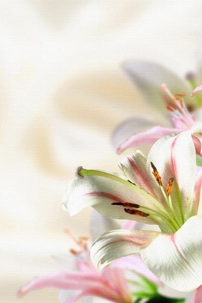 007. Поздравление: Бело-розовые лилии