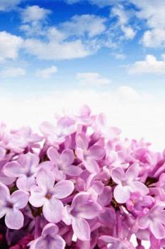 009. Поздравление: Розовая сирень на фоне неба