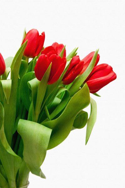 015. Поздравление: Красные тюльпаны