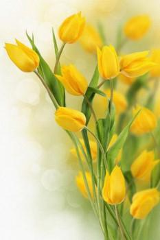 016. Поздравление: Желтые тюльпаны
