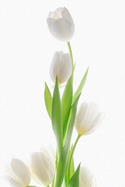 022. Поздравление: Букет белых тюльпанов