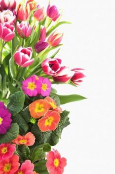 023. Поздравление: Тюльпаны розовых оттенков
