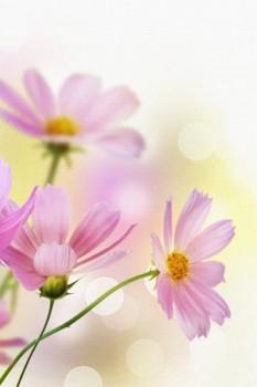 036. Поздравление: Нежно-розовые ромашки