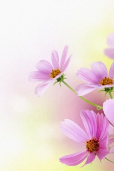 048. Поздравление: Три нежно-розовые ромашки