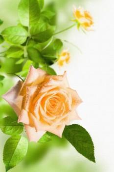 055. Поздравление: Желтая роза