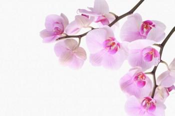 059. Поздравление: Две ветки с орхидеями