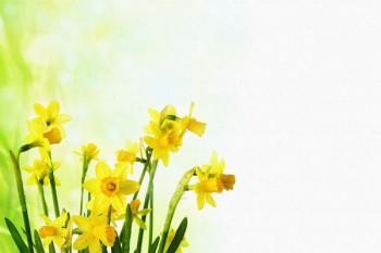 062. Поздравление: Желтые нарциссы