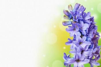 069. Поздравление: Синий гиоцинт в углу
