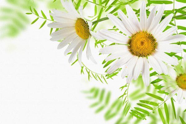 072. Поздравление: Садовые ромашки