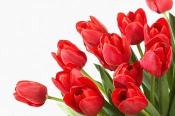 084. Поздравление: Двенадцать красных тюльпанов