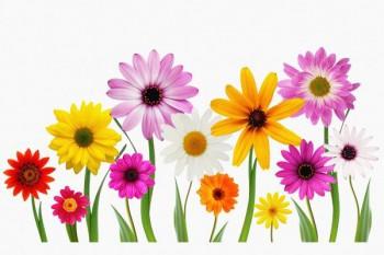 087. Поздравление: Разноцветные герберы