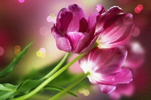 090. Поздравление: Бардовые тюльпаны на бардовом фоне