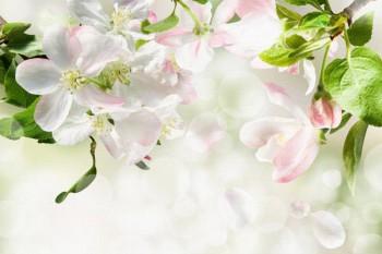 095. Поздравление: Яблоня в цвету