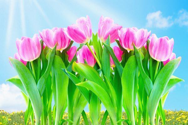 100. Поздравление: Тюльпаны под солнцем