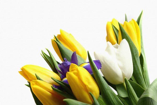103. Поздравление: Желтые, синие, белые тюльпаны