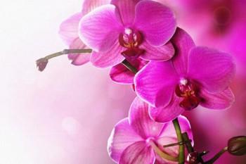 106. Поздравление: Орхидеи багровые