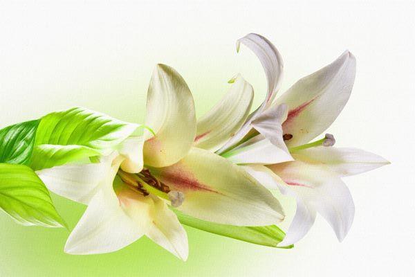 Фон для открытки лилиями