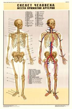 0333. Военный ретро плакат: Скелет человека. Места прижатия артерий.