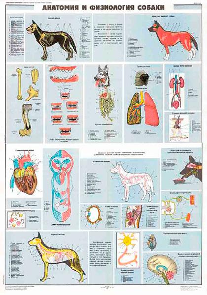 0876. Военный ретро плакат: Анатомия и физиология собаки
